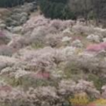 伐採前の梅の公園