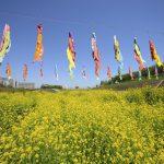 ゴールデンウィーク 菜の花とこいのぼり