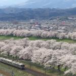 白石川堤 一目千本桜