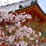 京都・仁和寺の桜